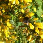 Bumble Bee on Gorse