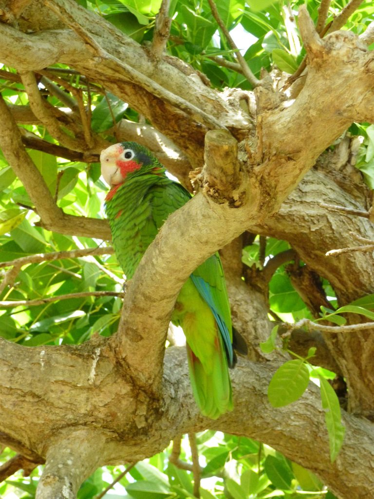 Caymanian Green Parrot in Tree
